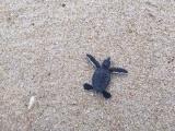 Около 300 вновь вылупившихся морских черепах из трех гнезд были благополучно выпущены в океан.