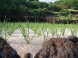 Во Вьетнаме строят органическую ферму чеснока