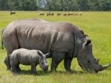 Вьетнам на страже истребления носорогов