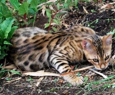 Бенгальская кошка не может быть