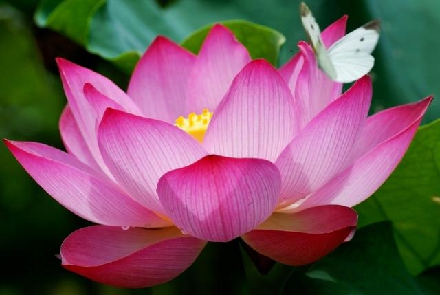 цветок лотос фото