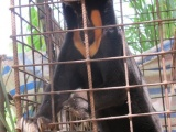 Медведи Вьетнама на грани истребления
