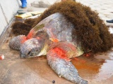 Редкая морская черепаха доставлена в Национальный парк Сюань Тхи «Xuân Thủy»